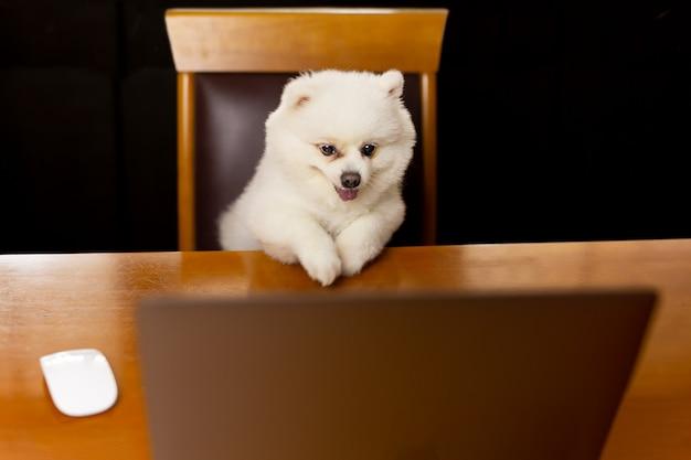 Pies szpic pomeranian i na stole z laptopem.