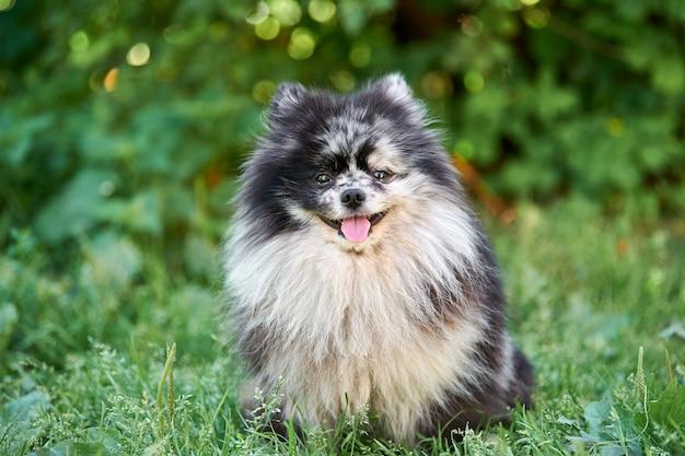 Pies szpic pomorski w ogrodowej trawie. śliczny pomorski szczeniak na spacer. zabawny, przyjazny rodzinie szpic pom.