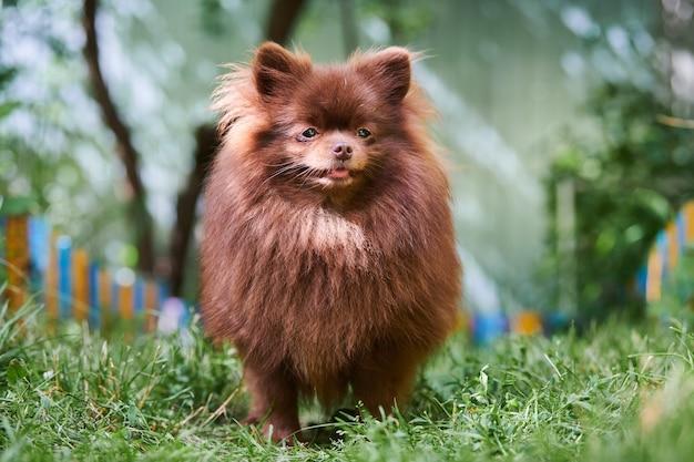 Pies szpic pomorski w ogrodzie. ładny brązowy pomorskim szczeniak na spacer. przyjazny dla rodzin zabawny pies szpic pom, zielona trawa tło.
