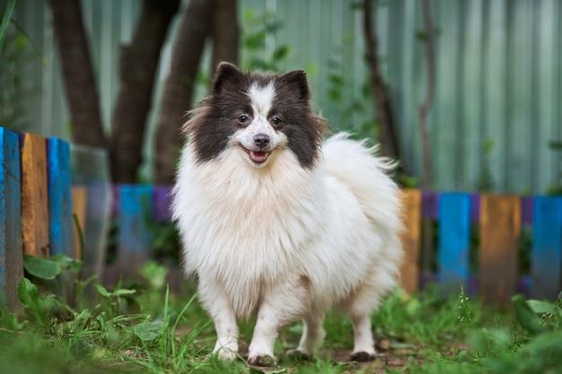 Pies szpic pomorski w ogrodzie. śliczny pomorski szczeniak na spacerze, kolor biały czarny. przyjazny dla rodzin zabawny pies szpic pom, zielona trawa tło.