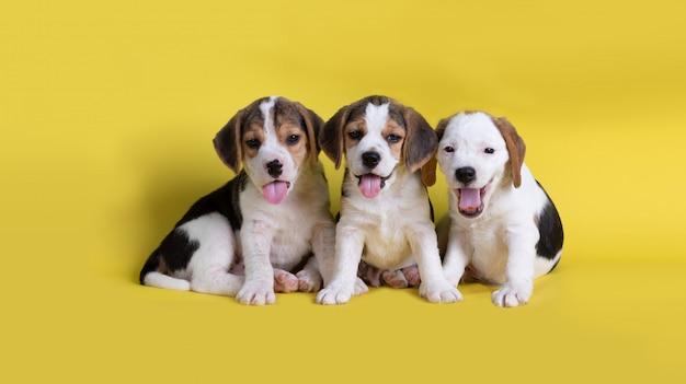 Pies, uroczy grupy szczeniąt rasy beagle siedzi i dyszy