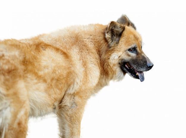 Pies w chow chow w akcji stojącej na izolacie
