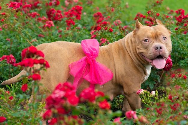 Pies w ciąży na tle krzaków z czasami w ogrodzie. pupil amerykański bully z kokardą na brzuchu