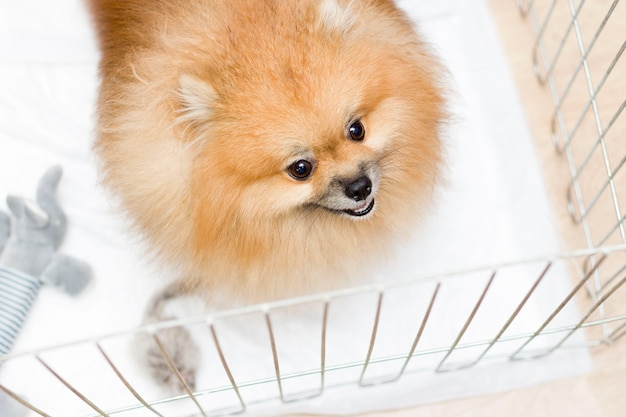 Pies w klatce. na białym tle. wesoły pomorski pomorski w żelaznej skrzyni czeka na właścicielkę po strzyżeniu w salonie. pielęgnacja
