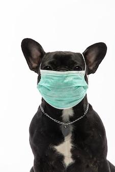 Pies w masce medycznej. buldog francuski. koronawirus