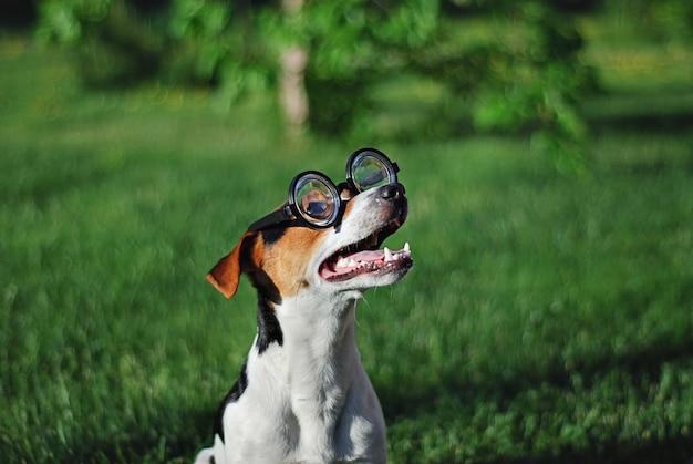 Pies w okrągłych okularach do czytania z otwartymi ustami