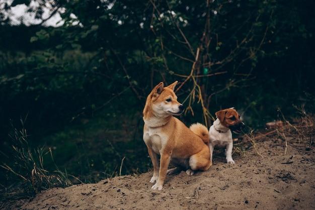 Pies w parku rasy sibainu