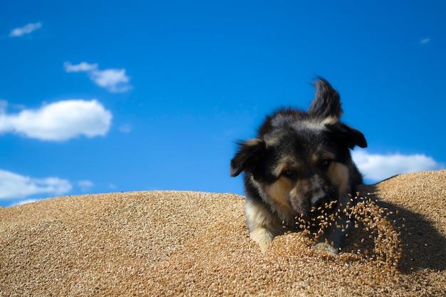 Pies w pszenicy kundel leży na stróżze zboża