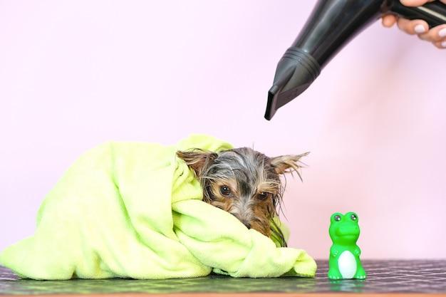 Pies w salonie fryzjerskim; strzyżenie, grzebień, suszarka do włosów. zwierzę dostaje zabiegi kosmetyczne w salonie urody dla psów. żółte tło