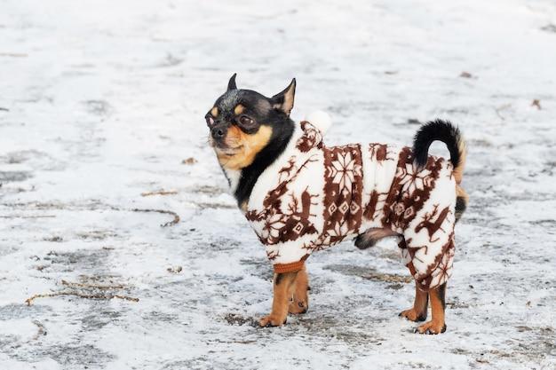 Pies w zimowe ubrania. pies chihuahua w zimowym kombinezonie dla psów. śnieżna zima. boże narodzenie dla zwierząt