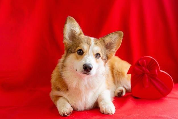 Pies walijski corgi w pobliżu czerwonego pudełka w kształcie serca