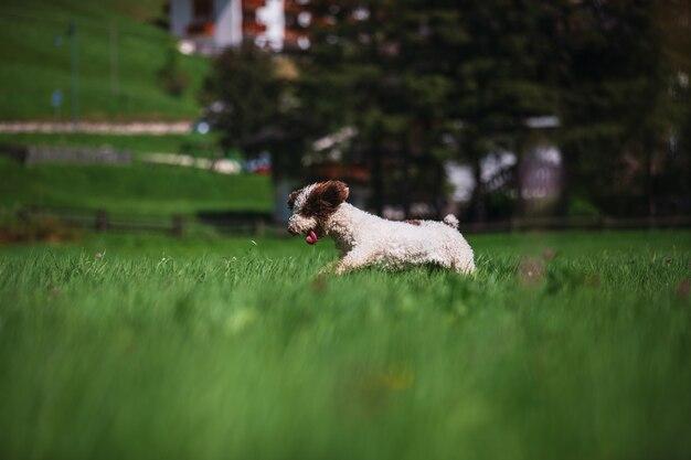 Pies wodny biegający po zielonym trawniku
