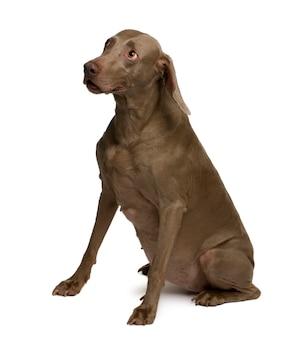 Pies wyżeł weimarski, siedzi