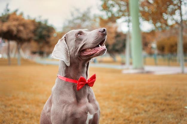 Pies wyżeł weimarski w jesiennej naturze, z czerwoną muszką na szyi.