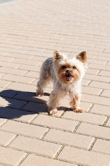 Pies yorkshire na ulicy