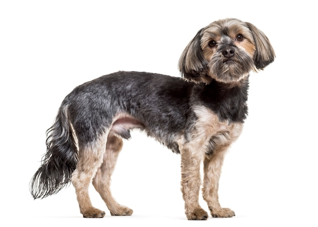 Pies yorkshire terrier, 4 lata, stojący na białej powierzchni