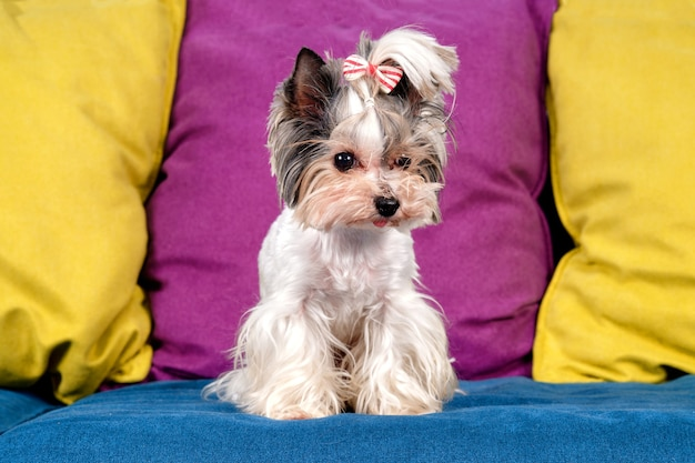 Pies yorkshire terrier bóbr na kanapie
