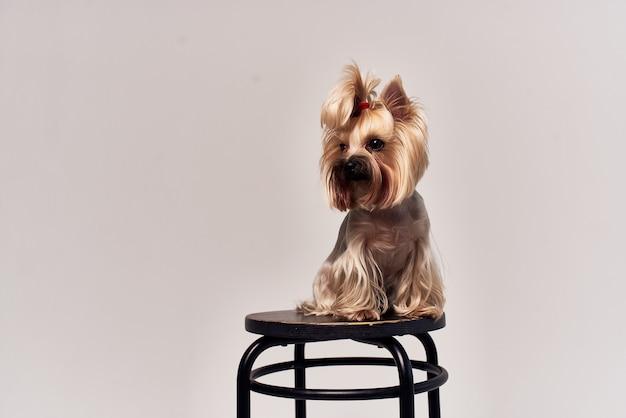 Pies yorkshire terrier pozowanie na białym tle