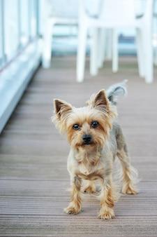 Pies yorkshire terrier z krótkimi włosami