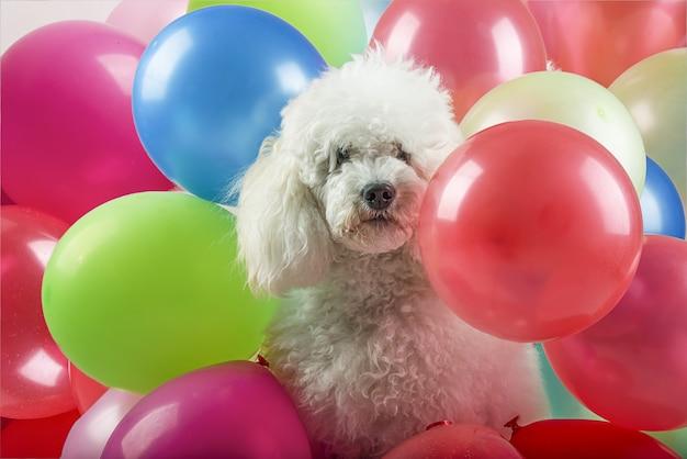 Pies z balonami