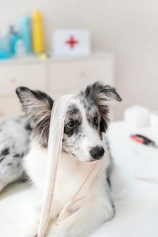 Pies z bandażem siedzi na stole