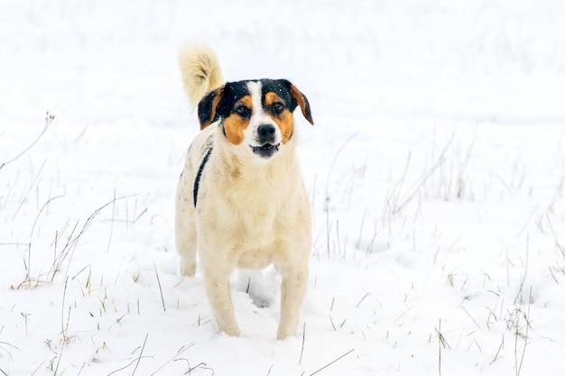 Pies z białymi cętkami na śniegu patrzy uważnie przed siebie
