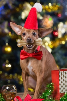Pies z czapką mikołaja w domu