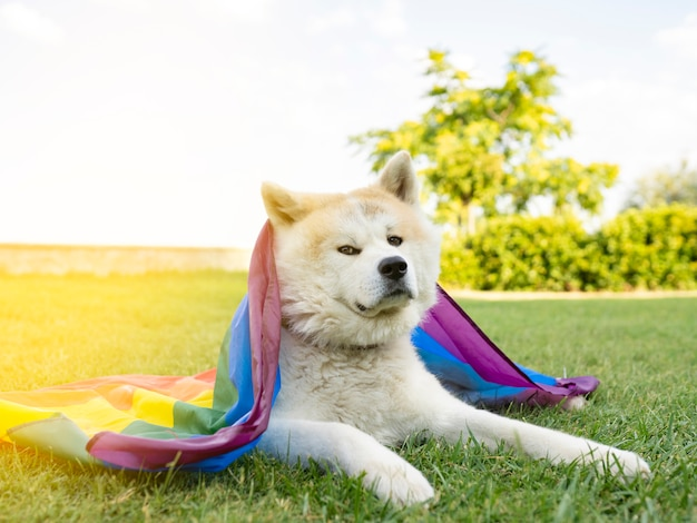 Pies z dumą gejowskiej tęczową flagą akita inu