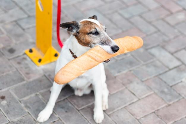 Pies z dużym kątem siedzi i trzyma bagietkę