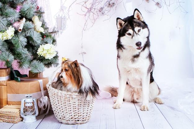 Pies z kokardą siedzi w koszu obok psa husky na tle choinki z prezentami