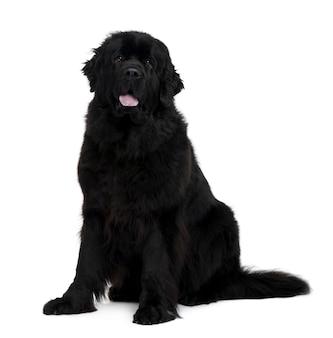 Pies z nowej fundlandii