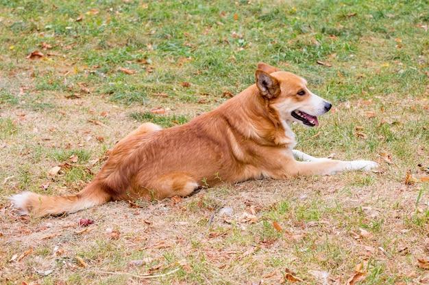 Pies z pomarańczowo-białą wełną siedzi w parku na trawie_