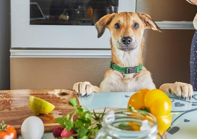 Pies z zaciekawieniem patrzy na stół z jedzeniem przygotowanym na wirtualną lekcję mistrzowską online, przygotowaną zdrową żywnością w kuchni w domu.
