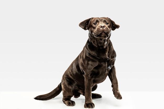 Pies zabawny czekoladowy labrador retriever siedzi.