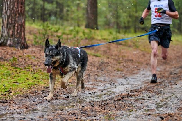 Pies zaprzęgowy owczarek niemiecki dołączony do biegacza