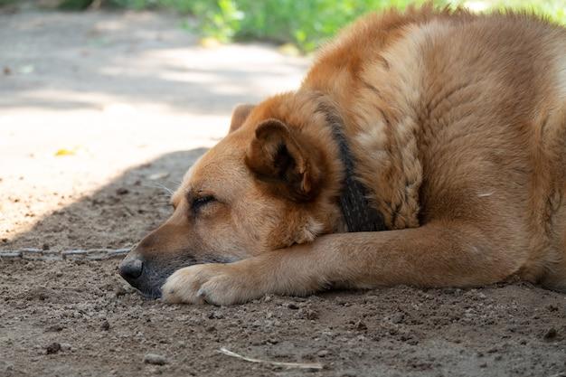 Pies ze smutną twarzą. smutna kobieta owczarek australijski leżący na ziemi. smutne oczy psa.