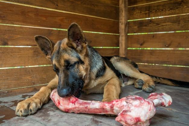 Pies żuje dużą surową kość wołową.