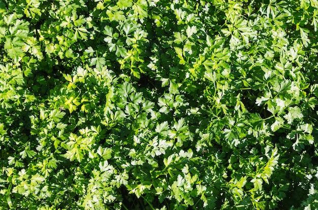 Pietruszka tło. aromatyczne zioła.