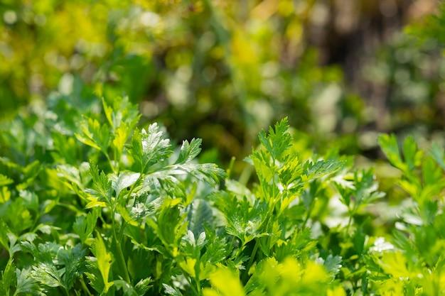 Pietruszka w ogrodzie. świeża zielona pietruszka rosnąca w ogródku warzywnym
