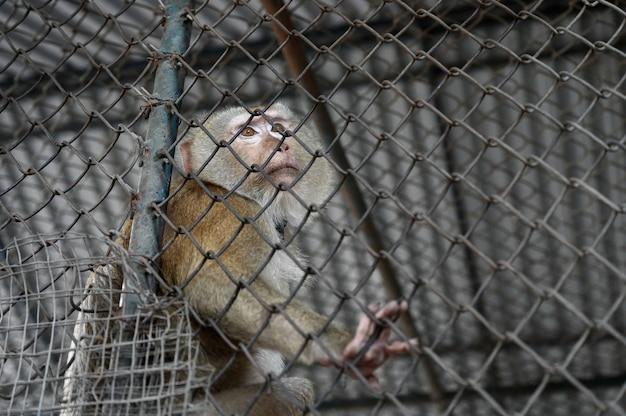Pigtail makak małpa jest stres i samotny