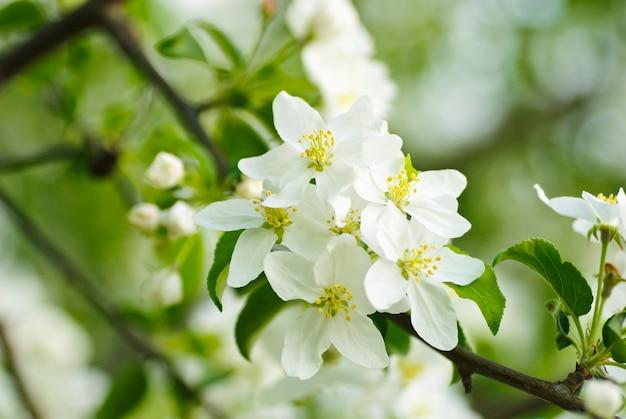 Pigwa Kwiat Makro. Niewielka Głębokość Pola. Skoncentruj Się Na Pręcikach Premium Zdjęcia