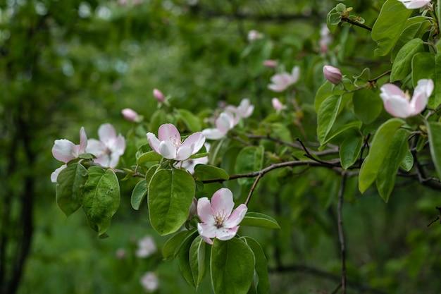 Pigwa kwiat na gałąź w wiosna ogródzie.