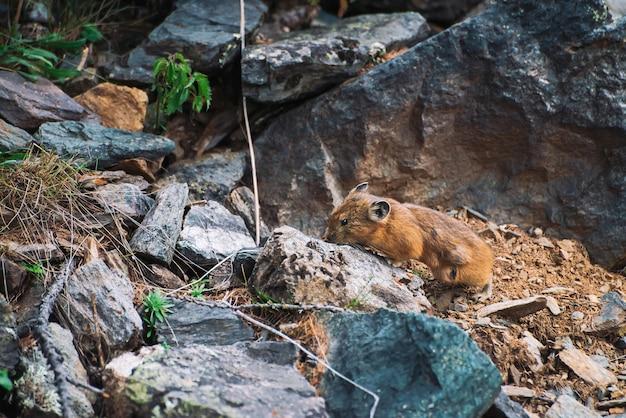 Pika gryzoń na kamieniach w górach. małe ciekawe zwierzę na kolorowym skalistym wzgórzu. mały puszysty uroczy ssak na malowniczych głazach w górach. mała mysz z dużymi uszami. mała zwinna pika.