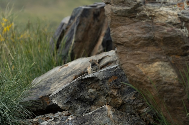 Pika (ochotona princeps)- park narodowy jasper, alberta
