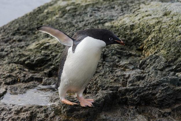 Pingwin adelie stojący na plaży na antarktydzie