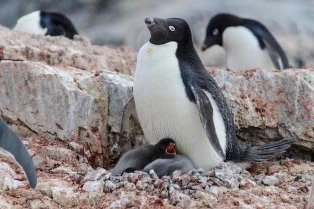 Pingwin adelie z pisklętami w gnieździe na antarktydzie