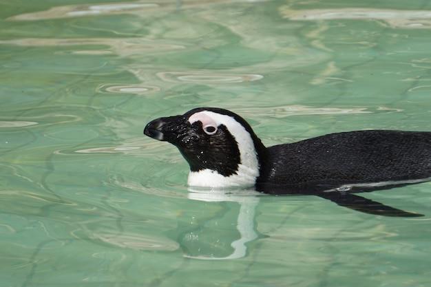 Pingwin afrykański pływający w basenie z czystą wodą w środku