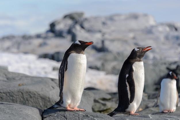 Pingwin białobrewy na skale na antarktydzie