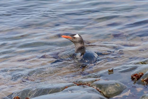 Pingwin białobrewy pływający w wodzie