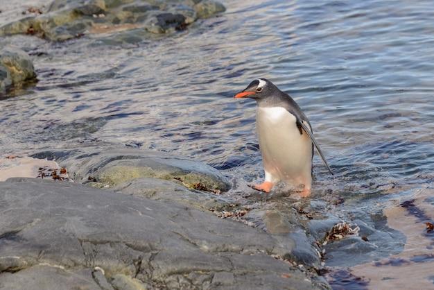 Pingwin białobrewy w wodzie